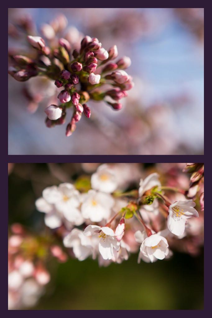 blossoms at the tidal basin | onbecominganartist.com