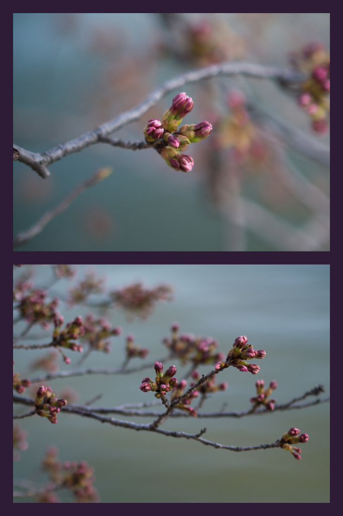 buds at the tidal basin | onbecominganartist.com